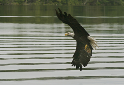 Eagle snatching a fish